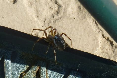 Brown Spiders with White Markings
