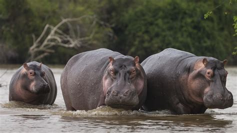 hippo hunted  ancient egypt referencecom
