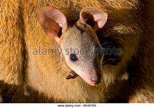 Macropus Rufus Baby Stock Photos & Macropus Rufus Baby ...