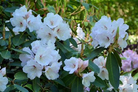 growing rhododendrons head gardener s tips for growing rhododendrons