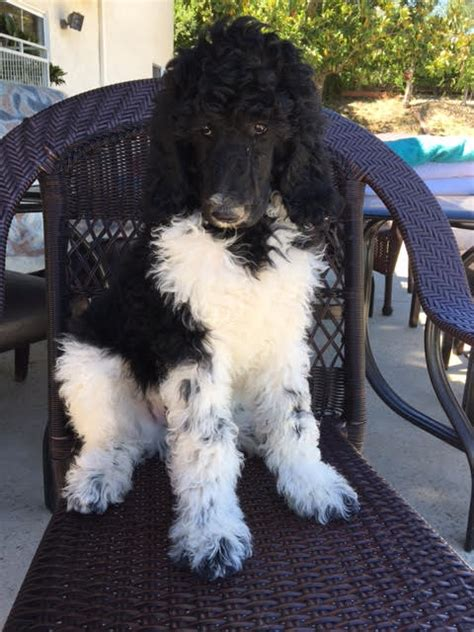 View Ad Poodle Standard Puppy For Sale California Granada Hills Usa