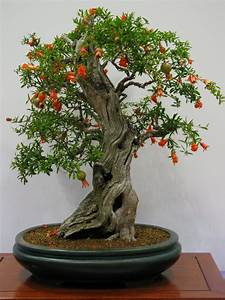 Pomegranate Bonsai Tree Care Guide  Punica Granatum