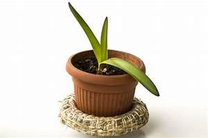 Amaryllis Zum Blühen Bringen : amaryllis zum bl hen bringen tipps und tricks f r den ~ Lizthompson.info Haus und Dekorationen