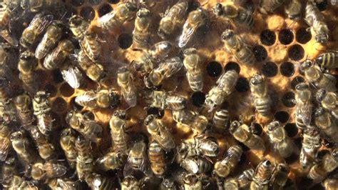 tiere honigbiene bienentanz schwaenzeltanz