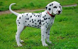 Dalmatian Puppies Breed information & Puppies for Sale