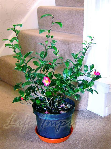 plante camelia en pot 60cm hardy camellia pot no 235 l int 233 rieur jardin plante 224 feuilles persistantes fleur ebay
