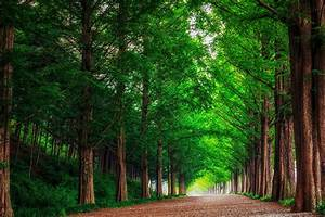 Landscape nature forest trees metasekvoya road alley South ...