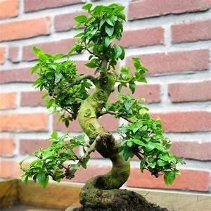 Bonsai Baum Garten : bonsai ligustrum schede bonsai ~ Lizthompson.info Haus und Dekorationen