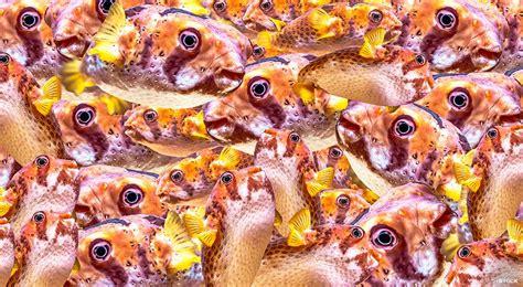 fugu fish   fugu  japans poison puffer fish