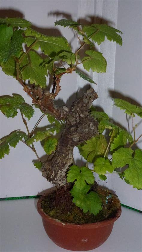 pied de vigne mon bonsai ne va pas bien forums parlons bonsai