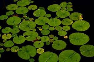 Free Images   Nature  Leaf  Flower  Pond  Green  Botany