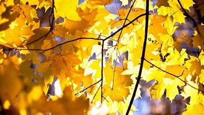 Yellow Leaves Maple Wallpapers Leaf Desktop Coffee