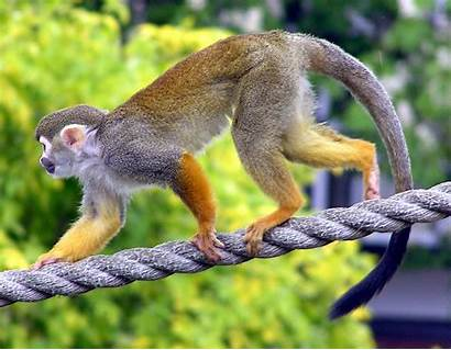 Saimiri Sciureus Monkey Squirrel Common Wikimedia Commons