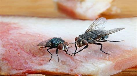 larve in casa larve di mosche in casa come combatterle ecofest