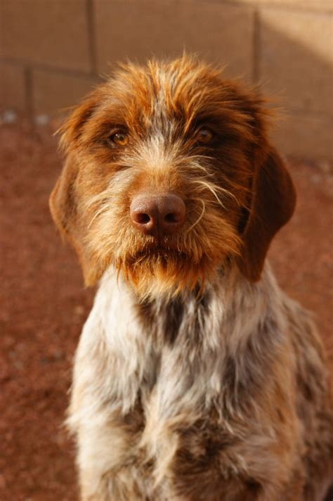 wirehaired pointing griffon hybrids dog breeds picture