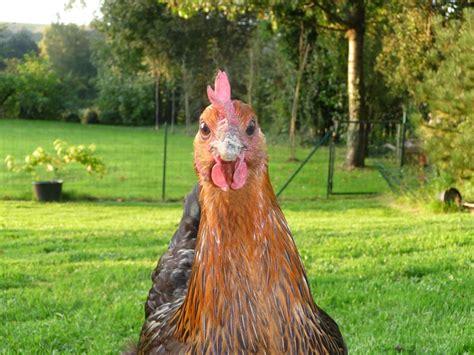 comment cuisiner une poule faisane une poule imgkid com the image kid has it