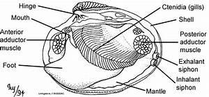 Clam Diagram Labeled