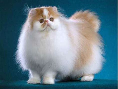 Tidak Mudah Hamil Jenis Kucing Anggora Dan Ciri Cirinya Yang Harus Kamu Tahu