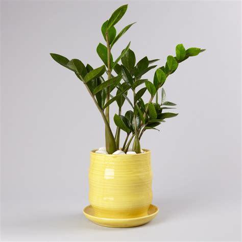 Pflanzen Für Dunkle Ecken pflanzen für dunkle ecken aspidistra elatior schusterpalme pflanzen