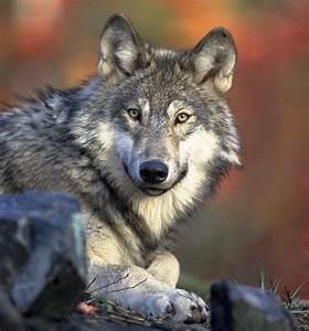 Symbole Du Loup : quelle est la signification des tatouages de loups ~ Melissatoandfro.com Idées de Décoration