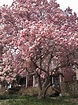 PHILLY TREES: MARCH MAGNOLIAS: BLOSSOMS BLOOMING