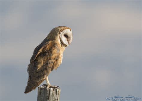 An Unexpected Barn Owl At Farmington Bay