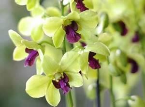 Comment Soigner Une Orchidée : comment soigner les orchid es selon leurs vari t s ~ Farleysfitness.com Idées de Décoration
