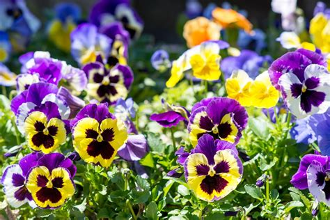 ideas for small living rooms how to grow and care for pansies