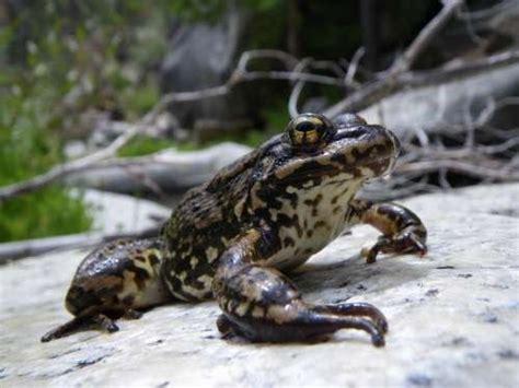 Breaking News: Mountain Yellow-Legged Frog returns (maybe)