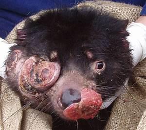 Tasmanian Devil Facial Tumour - Clip Free Hot Sex Teen