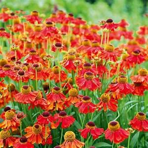 Helenium 'Moerheim Beauty' Best helenium plants to buy