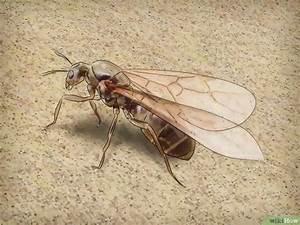 Ameisen Mit Flügel : eine ameisenk nigin erkennen wikihow ~ Buech-reservation.com Haus und Dekorationen