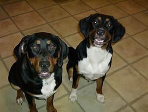 Precious & Duchess - Treeing Walker Coonhound Rottweiler ...
