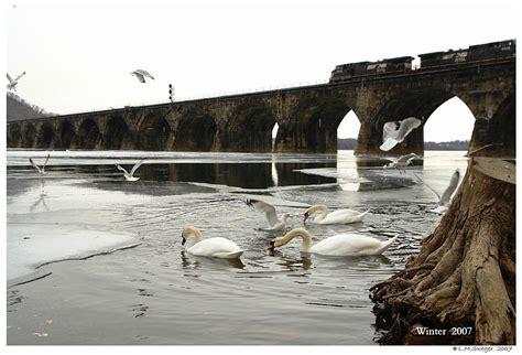 swans captive feeding mute fed adult need swan