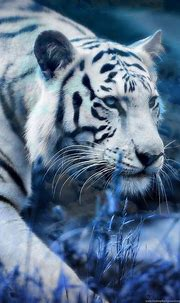 30 White Tiger Wallpapers Hd Pictures Desktop Background