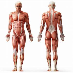Muscles Of The Body Unlabeled Unlabeled Diagram Of The Muscular System Muscles Of The Body