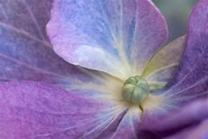 Hortensie Als Zimmerpflanze : hortensien geballte bl tenpracht gartenzauber ~ Lizthompson.info Haus und Dekorationen