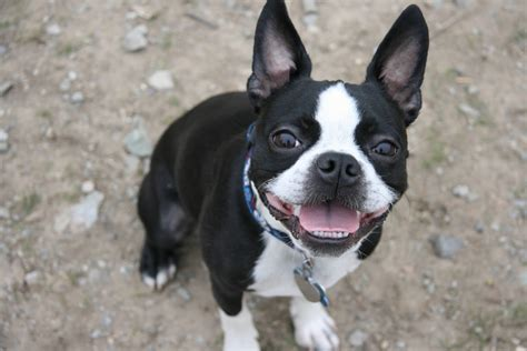 Boston Terrier Breeders Puppies And Breed Information