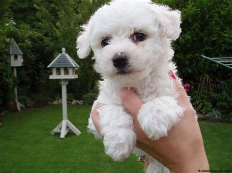 Bichon Frise Puppies Rescue Pictures Information Temperament Characteristics Animals Breeds
