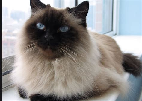 50+ Very Beautiful Himalayan Cat Pictures And Images