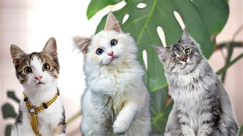 Is clusia toxic to cats