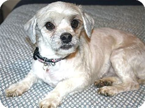 do shih tzus shed georgette i do not shed adopted yorba ca