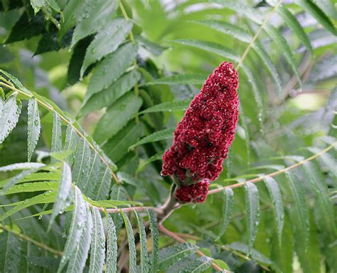 sumac plant temperate climate permaculture permaculture plants sumac
