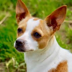 view ad rat terrier for adoption atlanta