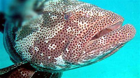 grouper giant