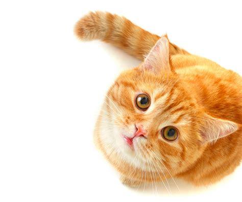 Фото Рыжая кошка на белом фоне