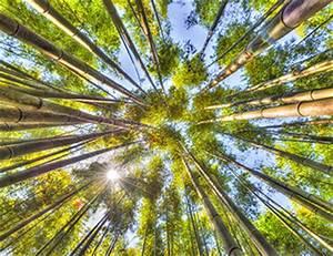 Wie Schnell Wächst Bambus : wie aus bambusrohr bambusparkett wird ~ Frokenaadalensverden.com Haus und Dekorationen