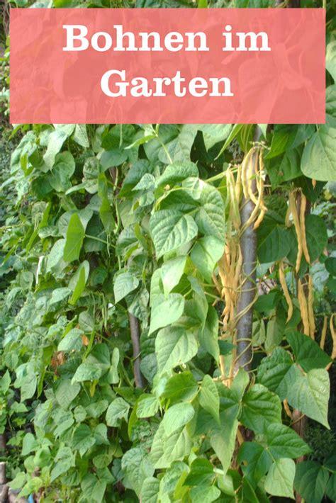 bohnen selbst anbauen bohnen als delikatesse 187 gartenbob de der garten ratgeber