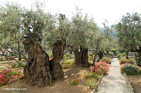 Garden Of Gethsemane Bible by Mount Of Olives Bibleplaces