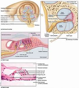Structure Of The Cochlea And Spiral Organ  The Cochlea